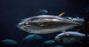 Big, Beautiful, Bluefin Tuna, Swimming